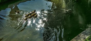 Duck and ducklings. Near Leeds Castle, Kent, UK Royalty Free Stock Image