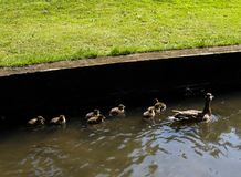 Duck and ducklings. Near Leeds Castle, Kent, UK Royalty Free Stock Photos