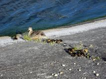 Duck with ducklings near the water on concrete royalty free stock photography