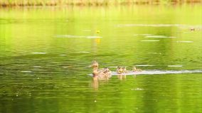 Duck with ducklings stock footage