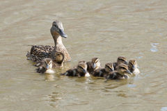 Duck with ducklings. In the pond royalty free stock photo