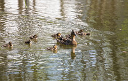 Duck with ducklings. On the pond Royalty Free Stock Image