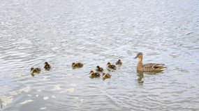 Duck with ducklings on pond. Duck with brood of ducklings swim on pond Royalty Free Stock Images