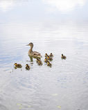 Duck with ducklings on pond. Duck with brood of ducklings swim on pond Royalty Free Stock Image