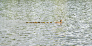 Duck with ducklings on pond. Duck with brood of ducklings swim on pond Royalty Free Stock Photography