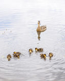 Duck with ducklings on pond. Duck with brood of ducklings swim on pond Stock Photos