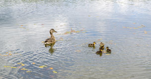 Duck with ducklings on pond. Duck with brood of ducklings swim on pond Royalty Free Stock Photos