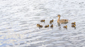 Duck with ducklings on pond Royalty Free Stock Image