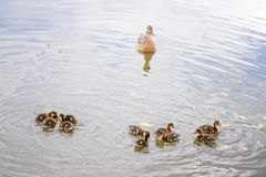 Duck with ducklings on pond. Duck with brood of ducklings swim on pond Stock Photo