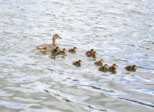 Duck with ducklings on pond. Duck with brood of ducklings swim on pond Royalty Free Stock Photo
