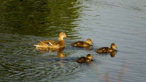 Duck and ducklings in pond. Mallard duck and ducklings in pond Royalty Free Stock Photo