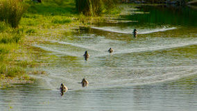 Duck and ducklings in pond. Mallard duck and ducklings in pond Stock Images