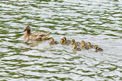 Duck with ducklings in the pond Stock Images