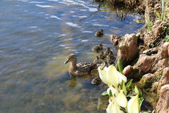 Duck with ducklings in the pond. Royalty Free Stock Images