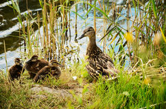 Duck with ducklings in the reeds Stock Image