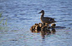 Duck with ducklings. Resting on a small island stock photo