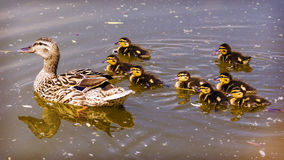 Duck with ducklings on the river stock images
