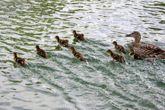 Duck and ducklings on the run Royalty Free Stock Images