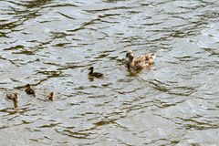 Duck with ducklings sailing on a river on a sunny day. Duck with ducklings sailing on a river on a bright sunny day stock photography