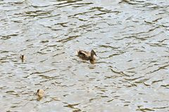 Duck with ducklings sailing on a river on a sunny day. Duck with ducklings sailing on a river on a bright sunny day stock photos