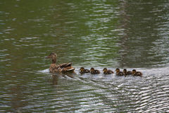 Duck with ducklings sails into the pond. Birds Royalty Free Stock Images