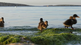 Duck and ducklings on the seaside stock video