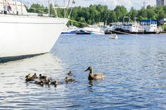 Duck with ducklings among the ships in the marina. Duck with a brood ducklings swim among moored ships in the marina stock photo