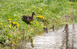 Duck with ducklings. On the shore of pond Stock Photography