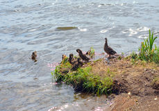 Duck with ducklings. Duck with small ducklings on coast of lake stock photography