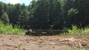 Duck with ducklings swim in the lake in the forest. People feed the ducks bread.  stock footage