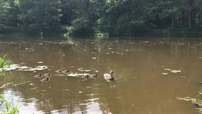 Duck with ducklings swim in the lake in the forest. People feed the ducks bread.  stock video footage