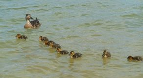 Duck and ducklings on a lake. Duck and ducklings swim on a water lake spring time royalty free stock images