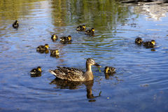 Duck and ducklings. Swimming on the lake Stock Photo