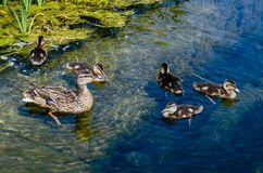 Duck with ducklings swimming in a pond. Duck with ducklings swimming in blue water among green algae Stock Photo