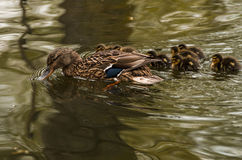 duck and ducklings swimming Stock Image