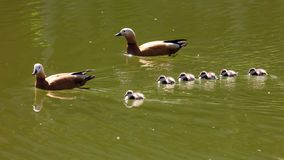 Duck with ducklings swimming in the lake.  stock photo