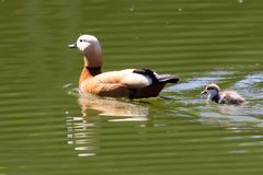 Duck with ducklings swimming in the lake.  royalty free stock image