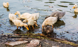 Duck with ducklings swimming in the lake and eat fish,. Duck with ducklings swimming in the lake and eat fish royalty free stock image
