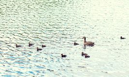 Duck with ducklings swimming in lake or river. Birds, ornithology, wildlife and nature concept - duck with ducklings swimming in lake or river royalty free stock images