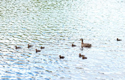 Duck with ducklings swimming in lake or river. Birds, ornithology, wildlife and nature concept - duck with ducklings swimming in lake or river Stock Photography