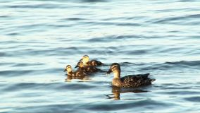 Duck with ducklings swimming on lake stock footage