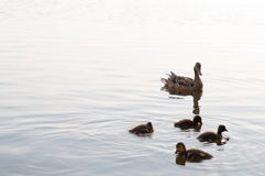 Duck and ducklings swimming in the lake water Royalty Free Stock Photography