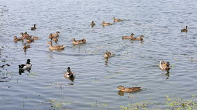 Duck with ducklings swimming in pond. Stock Photography