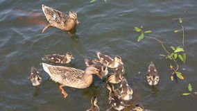 Duck with ducklings swimming in the pond stock video footage
