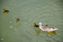 A duck with ducklings is swimming in a pond. Ducks swimming in the pond. Wild mallard duck. Drakes and females.  Stock Images