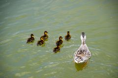 A duck with ducklings is swimming in a pond. Ducks swimming in the pond. Wild mallard duck. Drakes and females.  Stock Photography