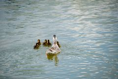 A duck with ducklings is swimming in a pond. Ducks swimming in the pond. Wild mallard duck. Drakes and females.  Royalty Free Stock Photos