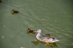 A duck with ducklings is swimming in a pond. Ducks swimming in the pond. Wild mallard duck. Drakes and females.  Royalty Free Stock Image