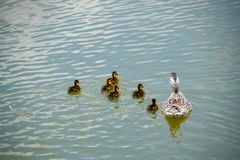A duck with ducklings is swimming in a pond. Ducks swimming in the pond. Wild mallard duck. Drakes and females.  Stock Photos
