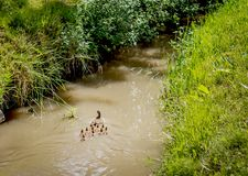 Duck and ducklings swimming in pond. Duck and ducklings following swimming in pond royalty free stock image